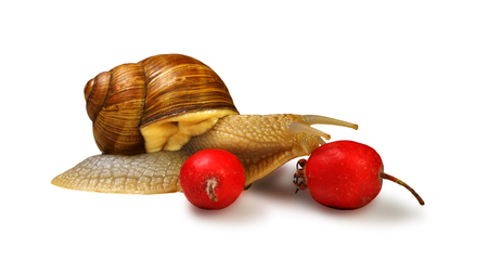 Grape snail is located near the wild rose berries and touch one of them, isolated on white background