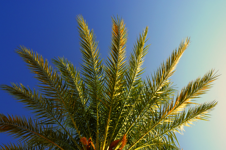 The top of the date palm tree close-up at dawn, lit by the sun and cloudless sky Фото со стока