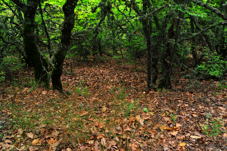 Woodland - old trees, covered with moss and fallen oak leaves on the ground, Crimea Фото со стока