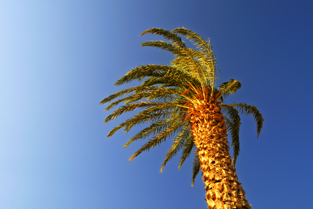The top of a date palm tree at dawn against the blue cloudless sky, lit by the rays of the sun, and windy, in Egypt