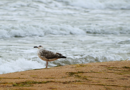 A lone mew gull standing on a sandy beach near the water, the sea of Azov