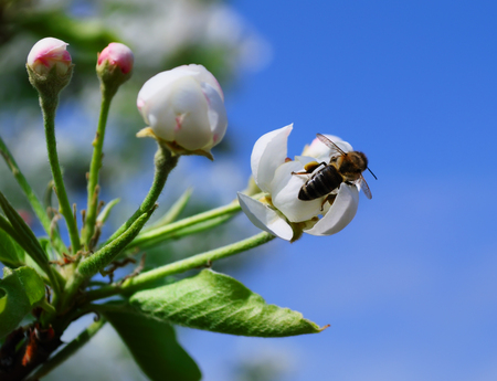 Twig of blossoming flowers of pear and sitting on them a bee collecting pollen on a bright sunny spring day Фото со стока