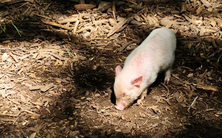 Little piggy nose in the woods, in dappled sunlight
