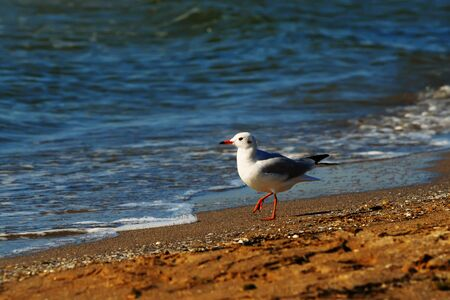 A lone mew gull standing on a sandy beach near the water, the Black sea