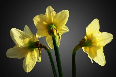 Three yellow narcissus flower, rear view, on gray background