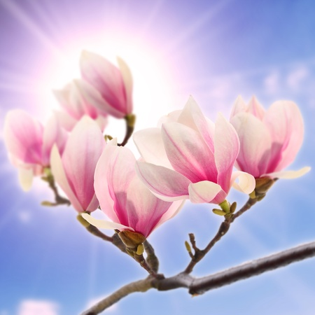 magnolia flower on sunny sky photo
