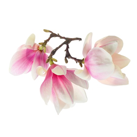 three magnolia flowers photo