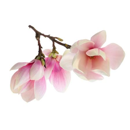 magnolia flower on white background Stock Photo
