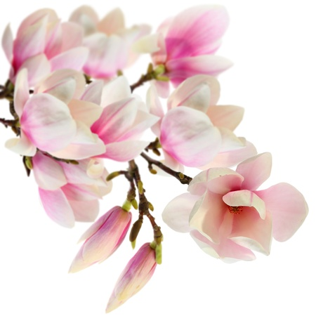 isolated magnolia flowers on branch photo