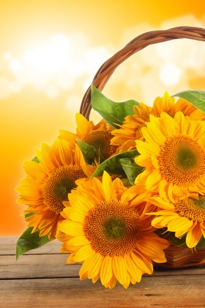 sunflowers on sunny background photo