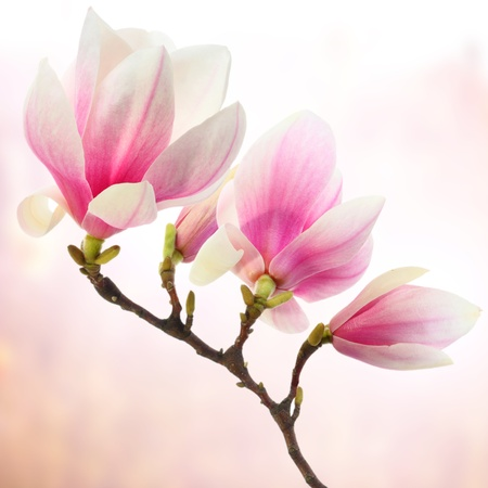 branch of magnolia flowers photo