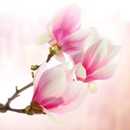 three magnolias on lilac background photo