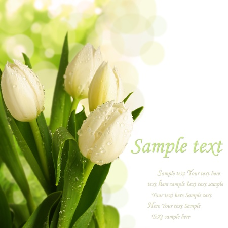 blooming white tulips photo