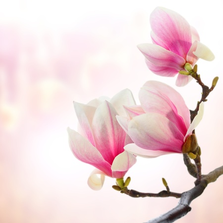 magnolia flowers on pink background photo