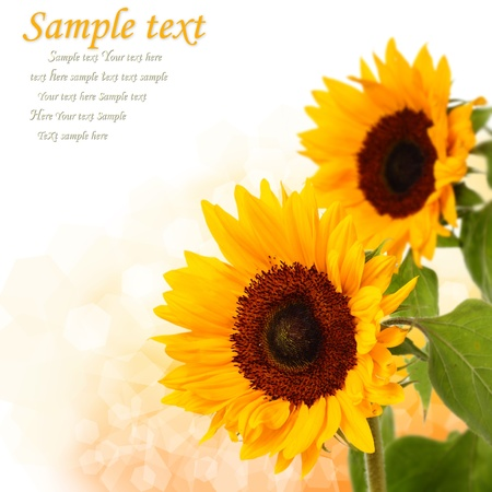 sunflower on light background with text space Stock Photo