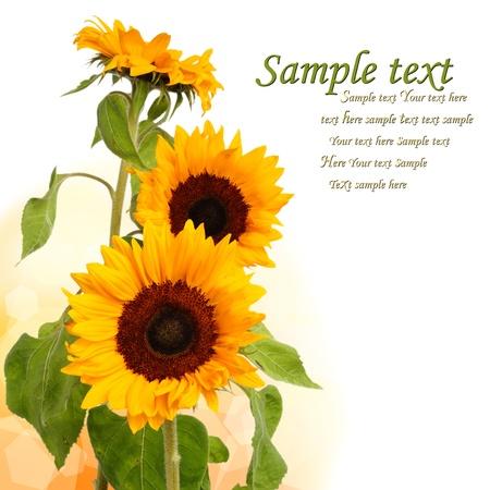 three sunflowers on long stem Stock Photo