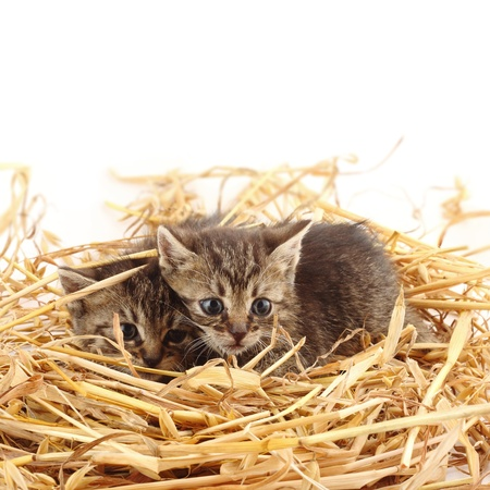 two kittens in straw photo