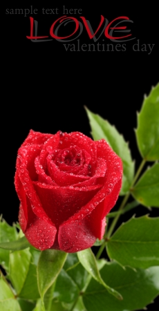 red rose with leaves on black Stock Photo - 15734268