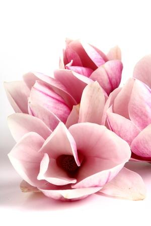 pink magnolia bacckground Stock Photo