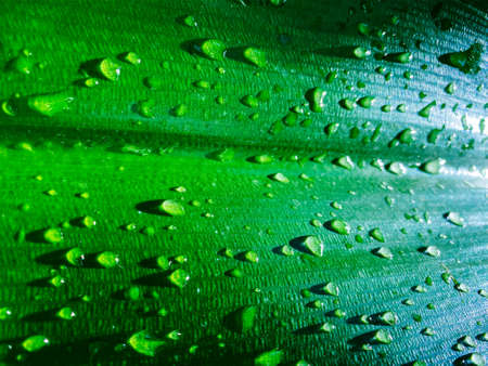 Large drops of water on a large green leaf after rain, natural texture. Natural green background. Beautiful foliage texture in nature