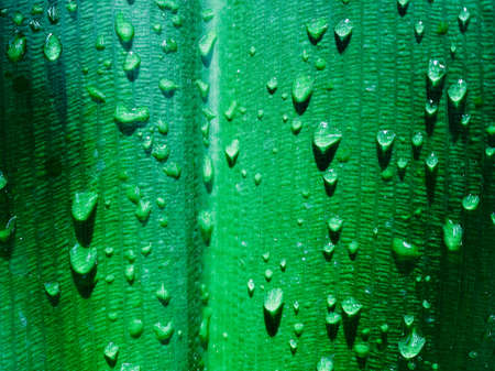 Water drops on a green leaf after rain, close-up of natural foliage background. Macro photo of water droplets on a large tropical leaf