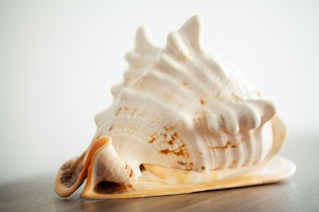 Sea concept. Sea shell on wood background
