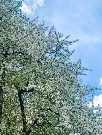 Springtime White Flowering Tree and the Sun on sky background