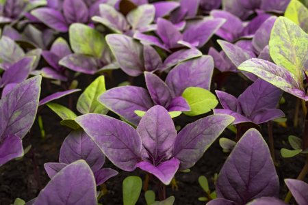 Growing purple basil on ground. Macro photo with blurred background Imagens