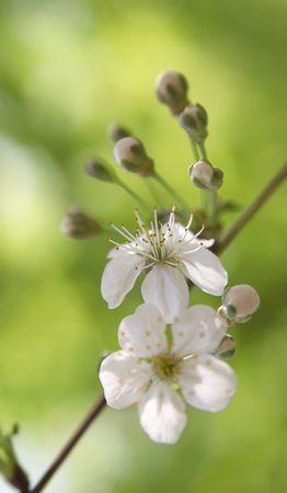 ablooming: Fiore di un ciliegio da vicino su uno sfondo verde
