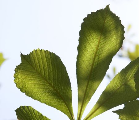gleam: Leaves of a chestnut on a gleam of the sun  Stock Photo