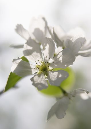 ablooming: Flower of a cherry close up