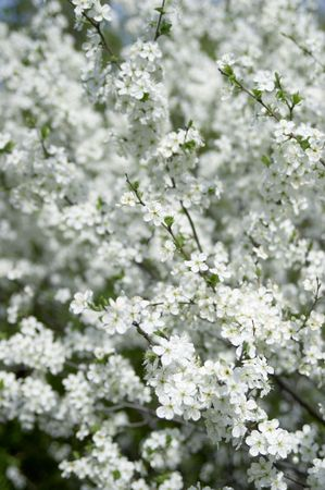 ablooming: Flower of a cherry  Stock Photo