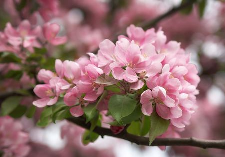 Pink flowers of an apple-tree on the dim pink background