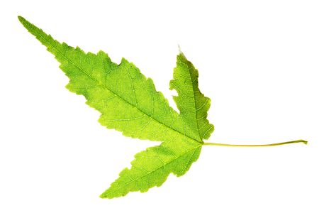 Leaf on a gleam, capillaries of a leaf are visible Stock Photo