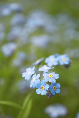 Blue flower on the green dim background  Stock Photo