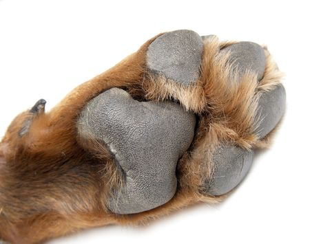 Paw of a dog of breed a Rottweiler. Stock Photo