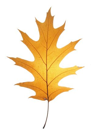 gleam: Leaf on a gleam, capillaries of a leaf are visible