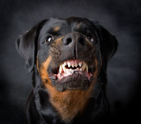 rottweiler: Rottweiler the girl of 6 years on a black background