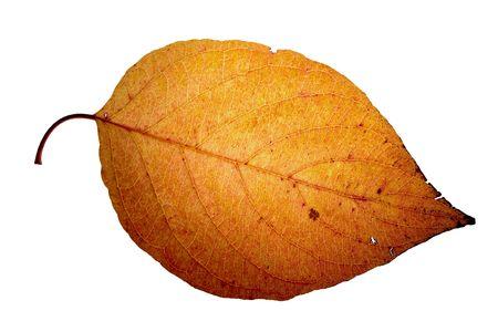 gleam: Leaf on a gleam, capillaries Stock Photo