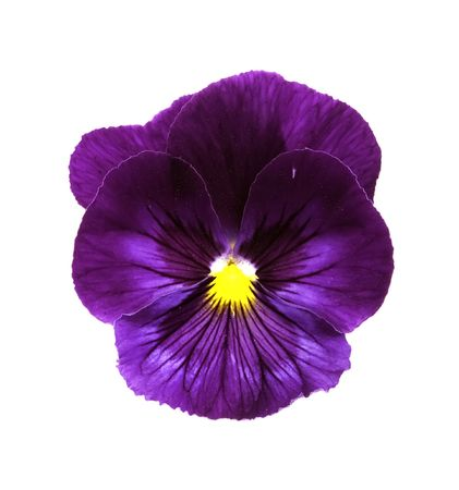violas: An isolated top view of a purple ViolaPansy flower on white. Stock Photo