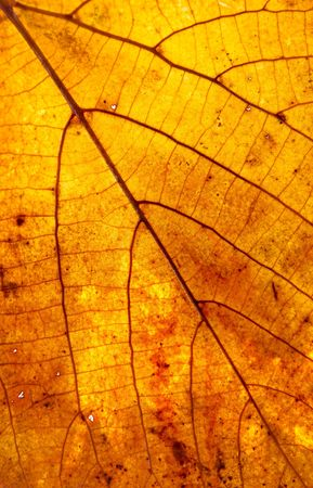 gleam: Leaf on a gleam, capillaries of a leaf are visible.