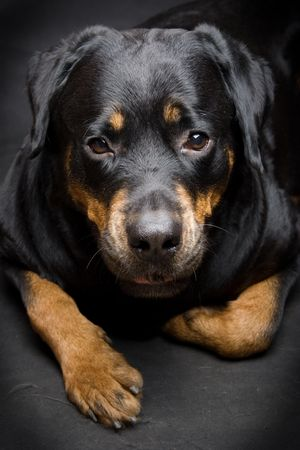 Female of a dog of breed a Rottweiler against snow. 7 years Stock Photo