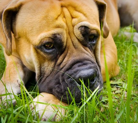boerboel dog: male of a dog of breed a boerboel against snow. 2 years.