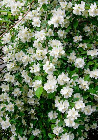 jasmine bush: blooming Jasmine bush. Stock Photo