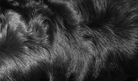 Structure of fur of a dog of breed a Rottweiler