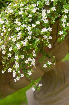 Petunia in stone vase photo