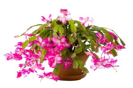 cactus flower: Christmas Cactus