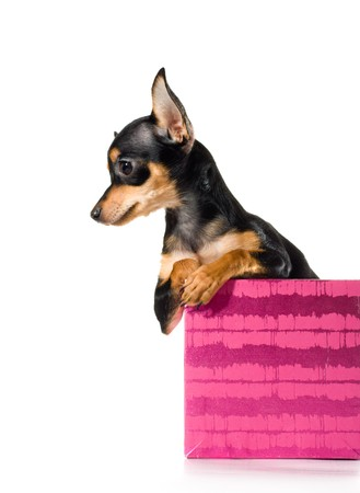 Picture of a funny curious toy terrier dog looking up. white background photo