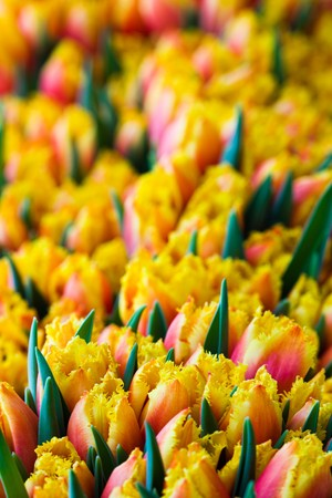 Colorful tulips in the garden photo