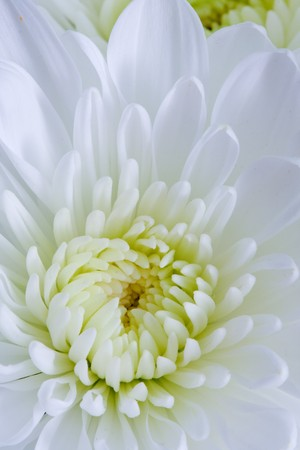 Chrysanthemum Flowers Stock Photo - 8184487
